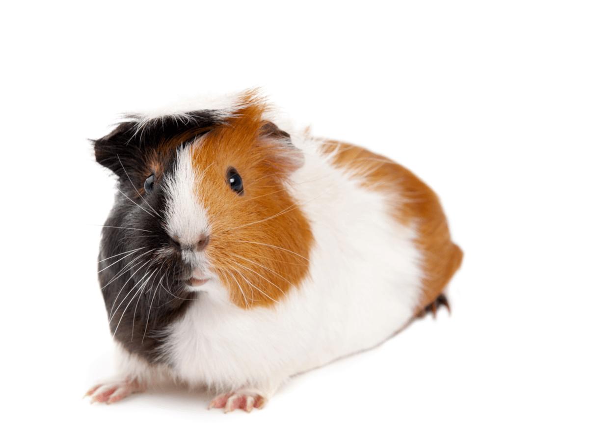 子どもがいても飼いやすい小動物ってなに?定番・人気の可愛いおすすめのペット10選