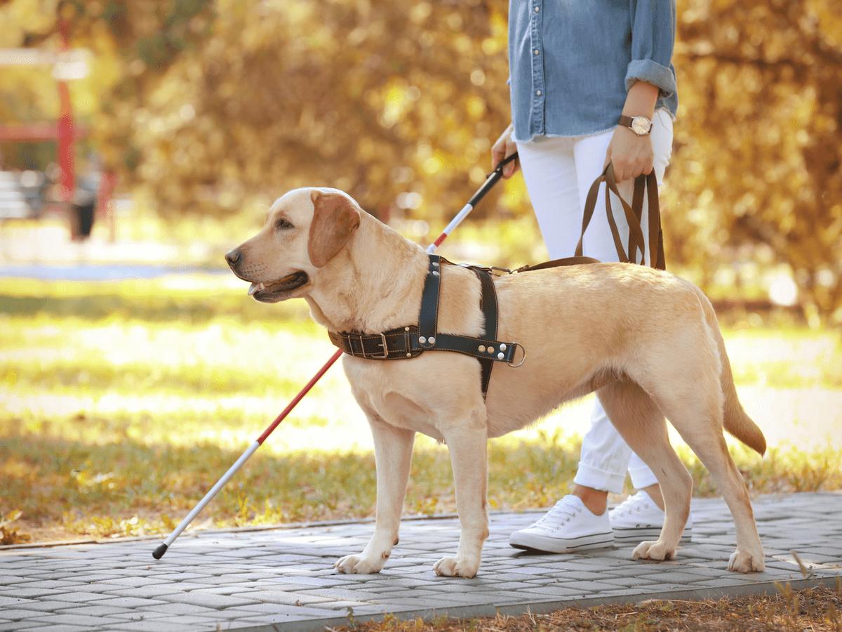 盲導犬訓練士になるにはどうすればいい?人と犬をつなげる大事な橋渡しその役割について